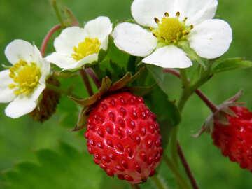 Strawberry №29487