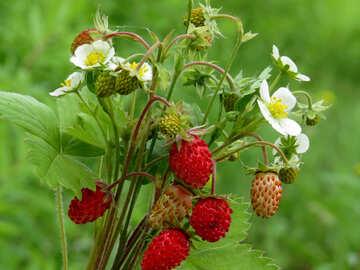 Strawberry №29500
