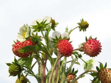 Background strawberries №29476
