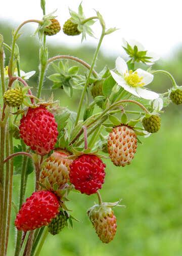 Berry №29504