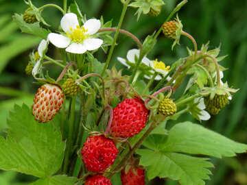 Delicious berry №29498