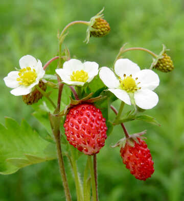 Flowers strawberries №29490
