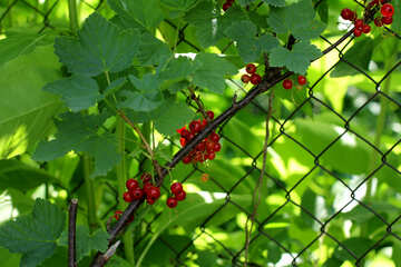 Currant bushes along the fence №29061