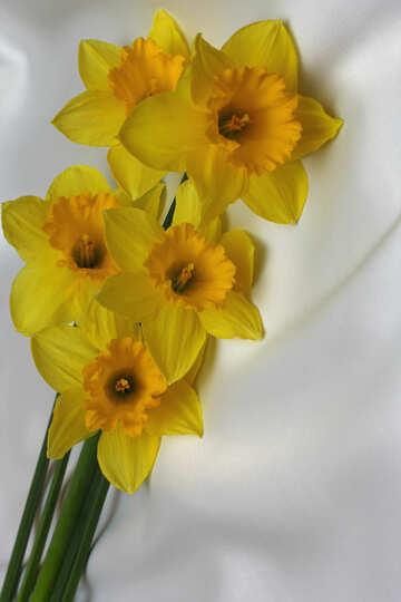Yellow daffodils №29989