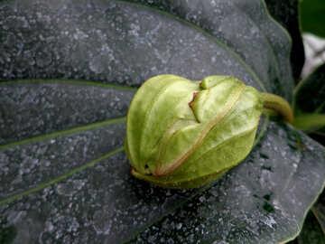 Flower bud №29312