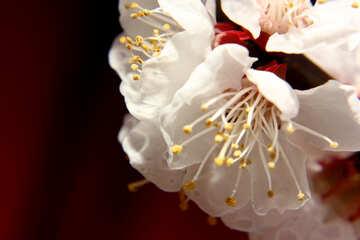 Big flower apricot tree №29899
