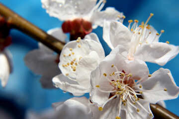 Цветы абрикосового дерева  №29898
