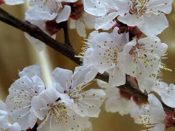 Albero in fiore №29924