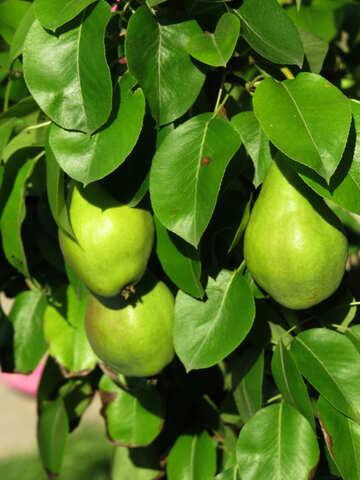 Delicious Pear №29044