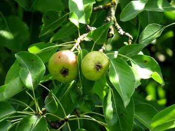 Grow pear №29039