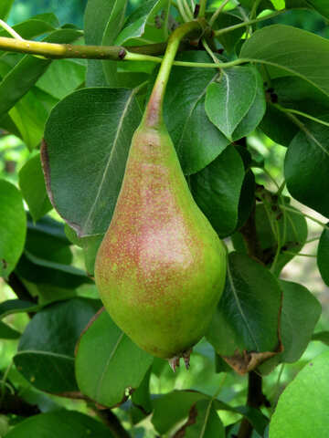 Pear №29056