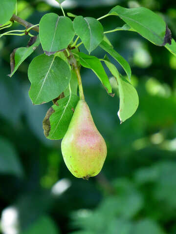 Pear hanging on tree №29045