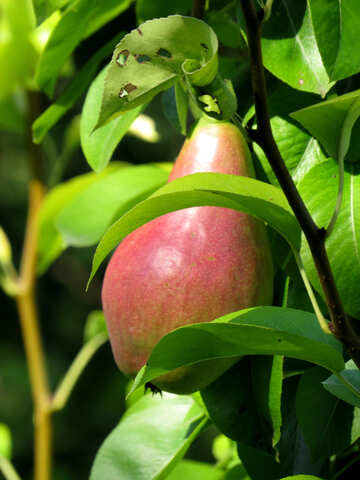 Pear tree №29031