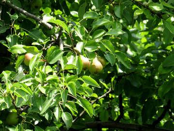 Pear tree №29041