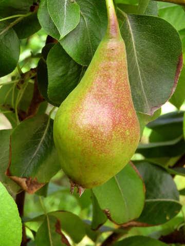 Ripe pear №29057