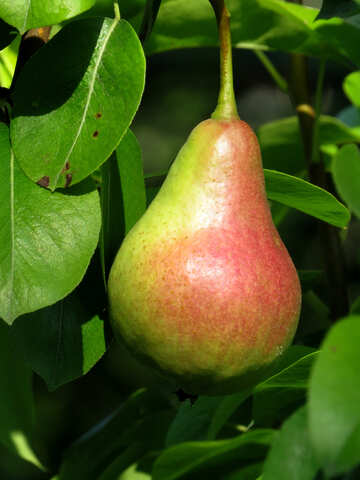Tasty pear №29029