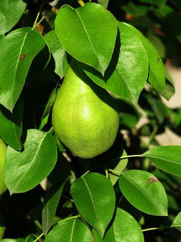 Yellow pear №29043