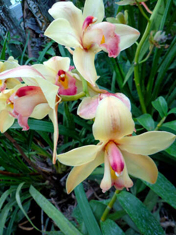 Garden Orchid №29325