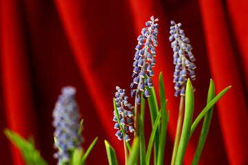 Hyacinth №29782