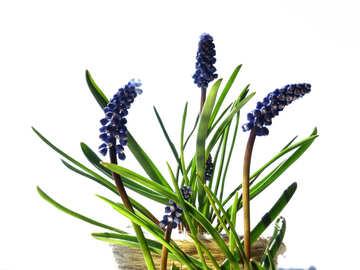Flower hyacinth №29664