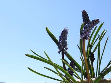 Murine hyacinth №29647