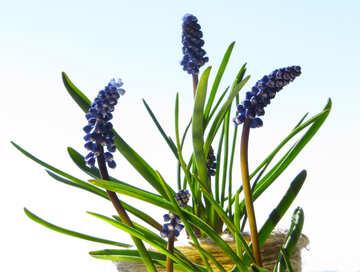 Murine hyacinth №29661