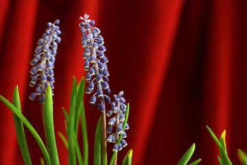 Murine hyacinth flower №29779
