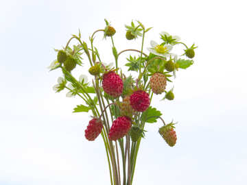 Bouquet of wild strawberry isolated №29502