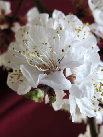 Macro flower apricot №29920