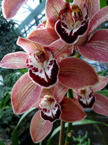 Fiori di orchidea №29304