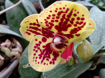 Orchid №29299
