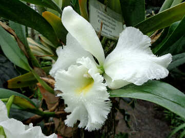 Orchid №29307