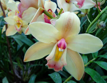 Orchid №29327