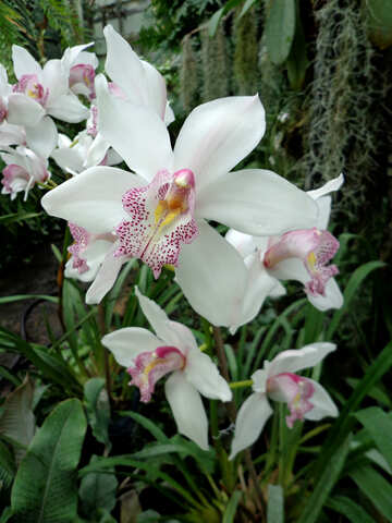 White Orchid №29321