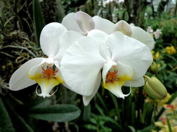 White yellow Orchid №29294
