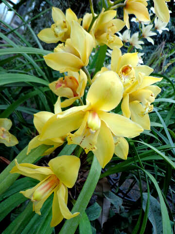 Yellow Orchid №29322