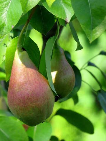 Pears №29032