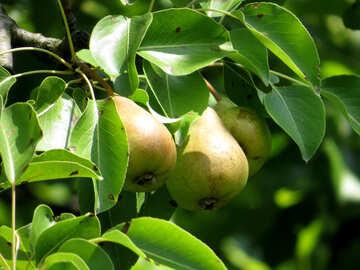 Harvest pears №29040
