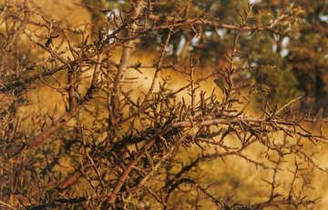 Juniper bush №29180
