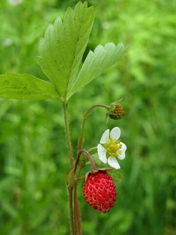 Strawberry timber №29460