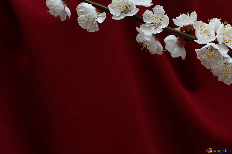 Red background with branch of blossoming apricot №29871