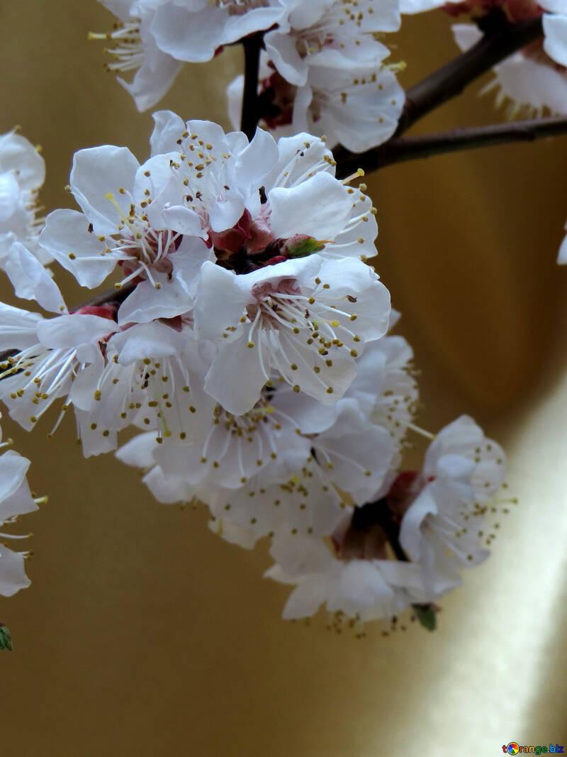 Árbol floreciente sobre fondo de oro №29926