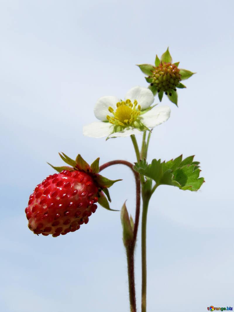 Strawberry №29469