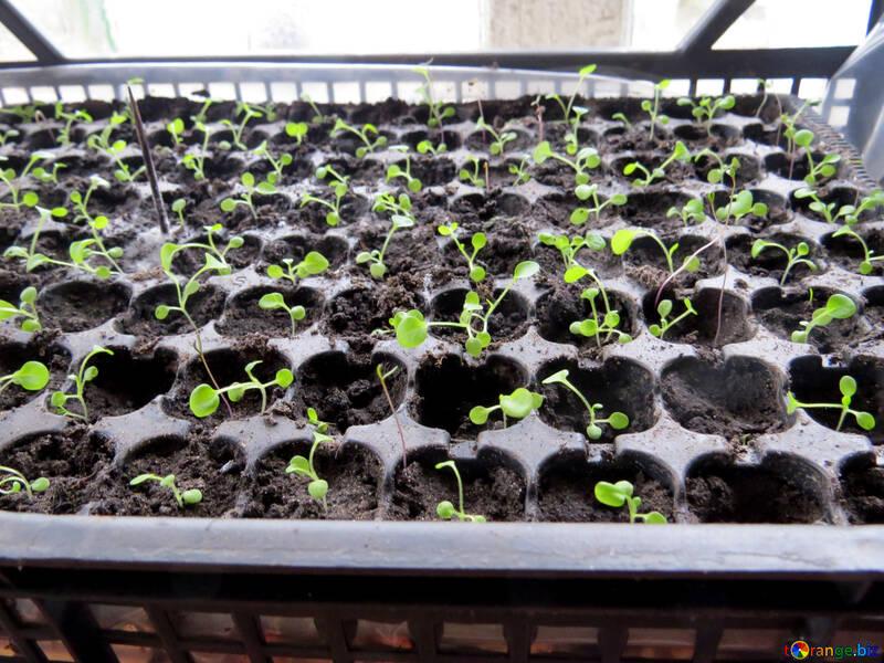 Seedling №29066