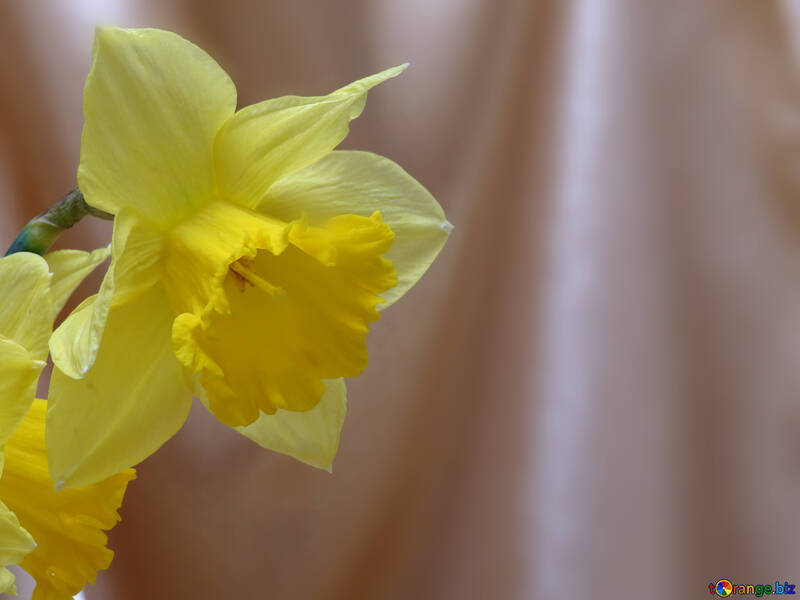 Narcissus on the background fabric №29938