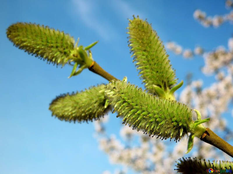 Spring willow №29599