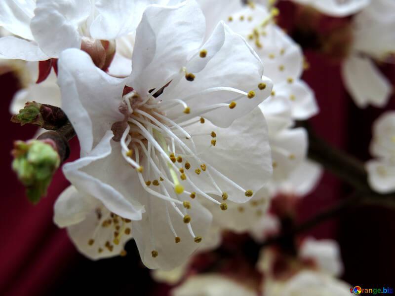 Цветок плодового дерева №29919