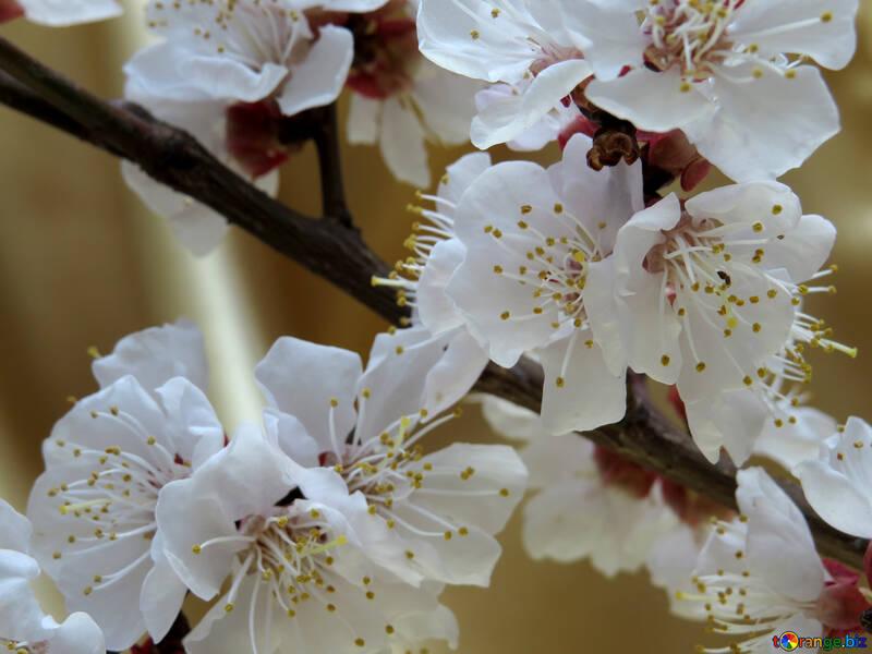 Цветущее дерево №29924