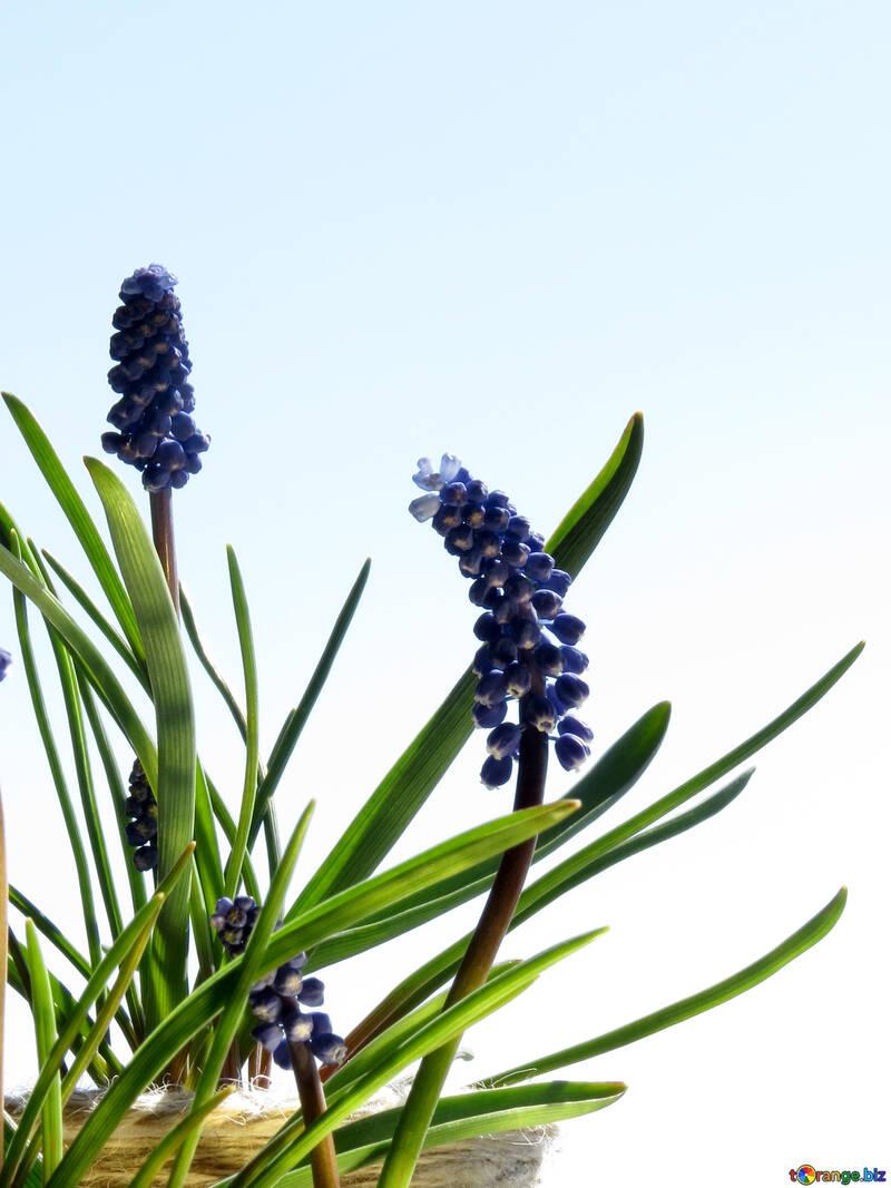 Flor de Muscari №29662