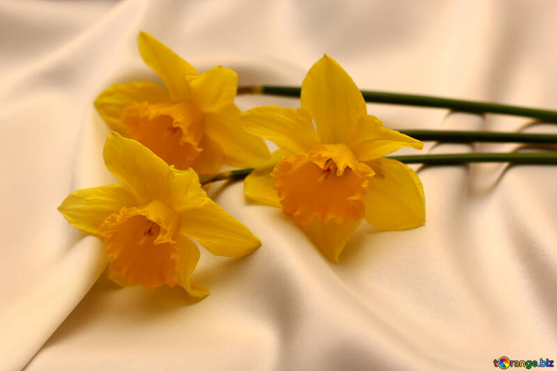 Three of narcissus №29993